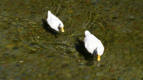 游泳在清楚的水小河的两只白色鸭子  免版税图库摄影
