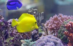 游泳在温暖的海的两条热带鱼 免版税库存图片