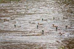 游泳在湖或池塘的许多鸭子 免版税库存照片