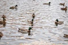 游泳在湖或池塘的许多鸭子 免版税库存图片