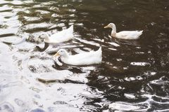 游泳在湖的三只白色鸭子在日出 库存图片