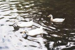 游泳在湖的三只白色鸭子在日出 免版税图库摄影