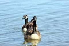 游泳在湖的两只加拿大鹅特写镜头  库存照片