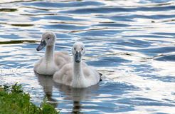 游泳在湖的两只幼小小天鹅 免版税库存照片