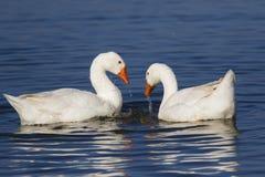游泳在湖的两只白色家养的鹅 免版税库存图片