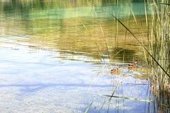 游泳在湖的两只鸭子 库存照片