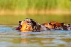 游泳在湖的两条狗 库存照片