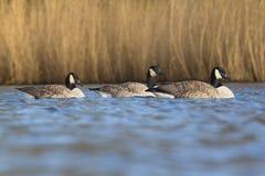 游泳在湖的加拿大鹅 免版税图库摄影