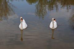 游泳在湖的白色天鹅 免版税图库摄影