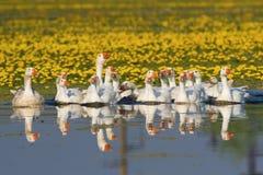 游泳在湖的白色家养的鹅大群  免版税库存图片