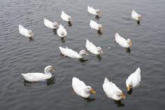 游泳在湖的许多白色天鹅 免版税库存照片