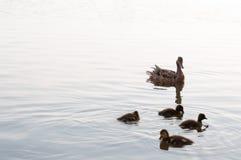 游泳在湖的鸭子和鸭子浇灌 免版税图库摄影