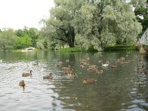 游泳在湖的鸭子,在一个美丽的公园 免版税库存图片