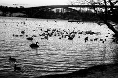 游泳在湖的鸭子 库存照片
