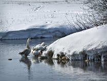 游泳在湖的鹅 免版税库存照片