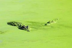 游泳在湖,澳大利亚的两条盐水鳄鱼 库存图片
