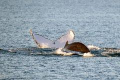 游泳在澳大利亚的驼背鲸 库存图片