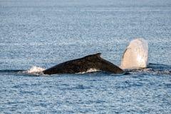 游泳在澳大利亚的驼背鲸 图库摄影