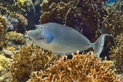 游泳在火珊瑚的Bluespine unicornfish 库存图片