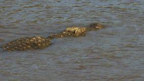 游泳在玛拉河的后方顶上的观点的一条大鳄鱼 股票录像