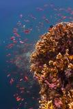游泳在珊瑚的橙色Anthias 库存图片