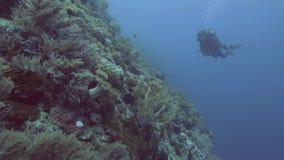 游泳在珊瑚礁和热带鱼附近的轻潜水员在透明海水 潜水水下的看法的轻潜水员  股票视频