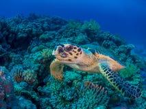 游泳在珊瑚礁的乌龟 免版税图库摄影