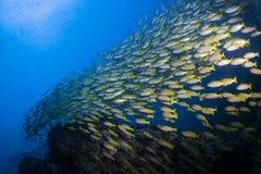 游泳在礁石的Fusiliers学校 免版税库存照片