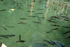 游泳在绿色水中的鱼 免版税库存图片