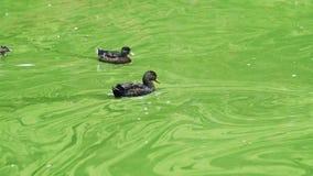 游泳在肮脏的水中的鸭子在池塘 股票视频