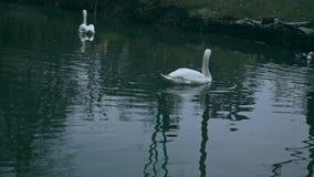 游泳在自然的池塘的白色天鹅全景  股票录像