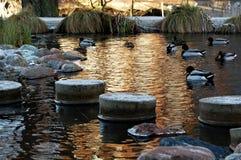 游泳在被日光照射了冬天水中的鸭子 库存照片