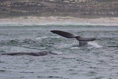 游泳在赫曼努斯,西开普省附近的南部的脊美鲸后面和尾巴  非洲著名kanonkop山临近美丽如画的南春天葡萄园 库存照片