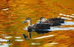 游泳在金黄池塘的平安的两只鸭子 免版税库存照片
