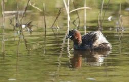 游泳在食物的河狩猎的相当小的格里布Tachybaptus ruficollis 免版税库存图片