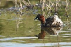 游泳在食物的河狩猎的相当小的格里布Tachybaptus ruficollis 库存图片