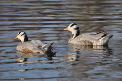 游泳在水中的两只鸭子 免版税库存图片