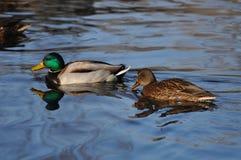 游泳在水中的两只鸭子 图库摄影