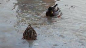 游泳在水中的鸭子夫妇  免版税库存照片