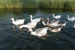 游泳在水中的鸭子 免版税图库摄影