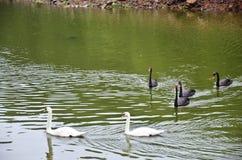 游泳在水库湖的天鹅在剧痛Ung的 免版税库存照片