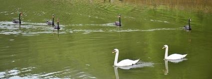游泳在水库湖的天鹅在剧痛Ung的 库存图片