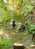 游泳在水的两只鸭子 免版税库存图片