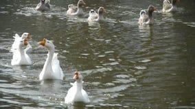 游泳在水,湖的鹅,鸭子鹅和天鹅 股票录像