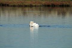 游泳在Bolsa奇卡沼泽地的两美国白色鹈鹕在加利福尼亚 库存图片