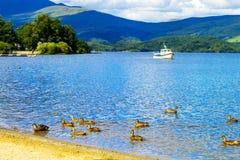 游泳在Loch Lomond湖的鸭子在勒斯,苏格兰,英国 免版税库存照片
