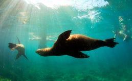游泳在snorkelers附近的海狮 免版税库存图片