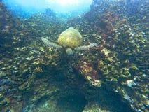 游泳夏威夷的海龟在水面下 库存图片