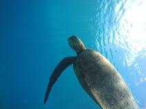 游泳夏威夷的海龟在水面下 免版税库存照片