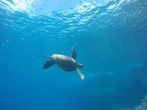 游泳夏威夷的海龟在水面下 图库摄影